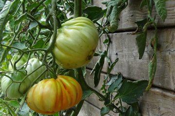 I pomodori biologici dell'orto di Borgogelsi