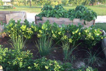 Le verdure biologiche dell'orto di Borgogelsi